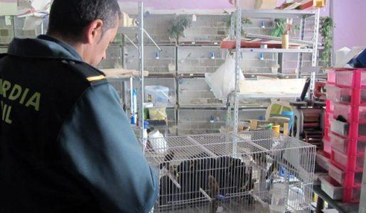 Denunciada una persona en Lorca por tenencia y venta de jilgueros de forma ilegal